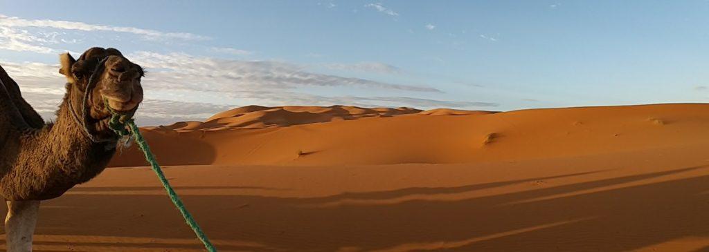 dromadere dans le desert du voyage au maroc
